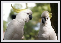 Parrot, come talk to me (nsgoh(song)) Tags: parrot a100 bintulu borneosarawak concordians theperfectphotographer goldstaraward nsgoh simsweejoovilla