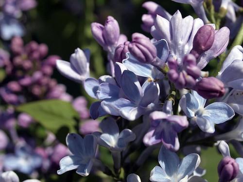 Lilac 02