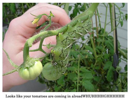 tomato-garden