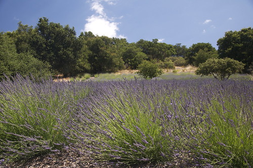 Quick check of the lavender fields showed all is blooming there.