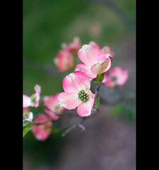 Spring Dogwoods (Pat Kilkenny) Tags: pink flowers flower spring blossoms bloom april 2010 pinkflowers platinumheartaward patkilkenny