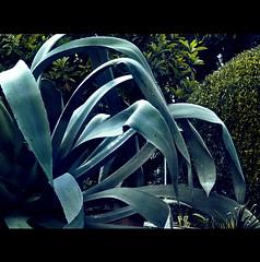 VOLUTTA' E SPINE NEL GIARDINO DELLE SUORE (Elena Fedeli) Tags: italy rome roma green italia details cyan dettagli agave piante celeste casaletto