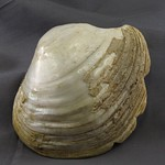 "<b>100.99hf01.1.26_1</b><br/> Notched Shell; Spoon Unknown Provenience<a href=""//farm4.static.flickr.com/3328/4575248194_3ce682c190_o.jpg"" title=""High res"">∝</a>"