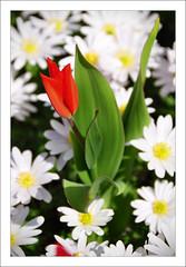 Another one... from Keukenhof! (B'Rob) Tags: pink orange streetart holland art primavera water spring rojo agua nikon dof purple tulips bokeh nederland thenetherlands tulip holanda naranja keukenhof tulipan brob awesomeblossoms brobphoto