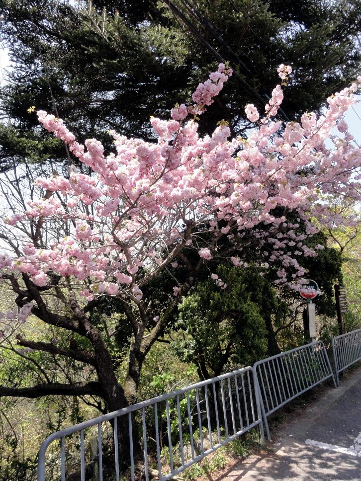 神戸 灘 摩耶山 八重桜