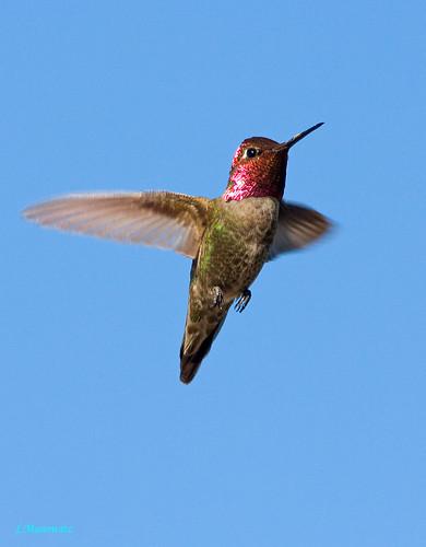IMG_6382 Anna's Hummingbird