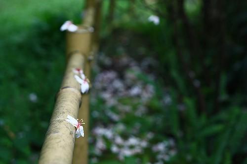 無人小徑旁的桐花,昨夜被雨打了一地