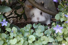 dirty nosed bunny (JAM FROG) Tags: flower rabbit bunny fleurs nose sale dirty campanula nez lapin bukowski dirtynose campanule campanules buky lapinblanc flickrdroid nezsale