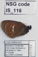 Erebia turanica