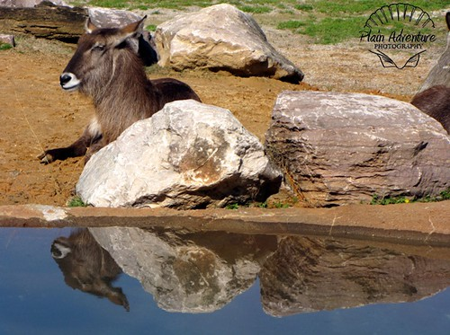 Hoofstock with Reflection with watermark