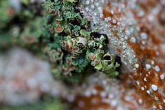 Lichen on tree trunk (Allyeska) Tags: newzealand macro rain forest rainforest pass lewis canterbury 100mm alpine southisland lichen beech