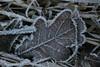 Sugar'n ice (wilmavdw) Tags: winter sugar leafs icecristal