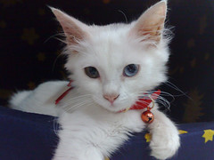 Bianca (Blake & Bianca) Tags: portrait pet white cute cat kitten pretty bell gorgeous greeneye bianca blueeye kittey catportrait animalportrait oddeye redcollar cc400 cc100 cc500 mywinners kittenmagazine bestofcats pet100 catmoments 100commentgroup memorycornerportraits 5prettykittycommentspartiv adoroble differenteyecolor