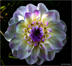 Purple Tipped Dahlia (West County Camera) Tags: dahlia onlythebestare awesomeblossoms excellentsflowers mimamorflowers platinumheartaward mb soe friends panoramafotogrfico natureselegantshots flickrflorescloseupmacros superbmacroflowers lesamisdupetitprince ogm superamazingmacrosaward thedantecircle greatshotss obq oraclex themonalisasmile weirenasfaves oa flowersarebeautiful platinumpeaceaward mygearandme mygearandmepremium mygearandmebronze mygearandmesilver mygearandmegold mygearandmeplatinum mygearandmediamond fleurs et paysages