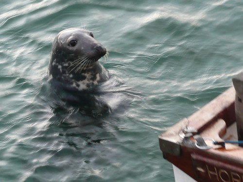 Seals in The Harbour at St.Ives,Cornwall (2)