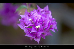 Bougainvillaea (Fukuda.) Tags: eos cano magical soe outofthisworld shiningstar fa bougainvillaea naturesfinest canondslrusergroup flowerpictures flowerphotography platinumphoto aplusphoto amomentarylapseofreason mycameraneverlies heartawards goldsealofquality everydayissunday florarte qualitypixels therubyawards beautifulshot photographersgonewild bokehliciousimage dragonflyawards totallyoverrated floralfantasia