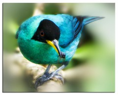 Honeycreeper (Alfredo11) Tags: blue red naturaleza black colour verde green bird eye texture textura colors azul composition ojo fly wings rojo beige costarica flash negro flight beak feather colores ave pico alas alfredo hunter pajaro tones aereo hunt natue airy cazador treatment vuelo flycatcher tratamiento plumage composicion plumas volar sb800 vivaz tonos plumaje honeycreeper cazamoscas nikond300