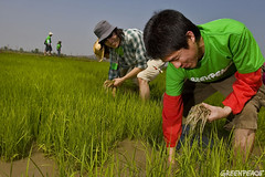 กรีนพีซจับมือเกษตรกรราชบุรี ร่วมปลูกข้าวอินทรีย์สร้างศิลปะบนผืนนา Greenpeace, farmers plant organic to create art