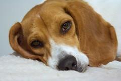 Flop (Rich Renomeron) Tags: dog beagle canoneos350d flop canoneosdigitalrebelxt sadface canonef28135mmf3556isusm 2565