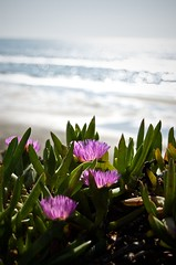 ice plants (Patrick Danger) Tags: fortfunston iceplants d40 localifornia