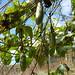 Passiflora x exoniensis (Frucht der Bastard-Passionsblume, Bananen-Maracuja)