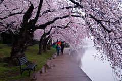 A walk in the clouds (idashum) Tags: trip pink flowers vacation flower tree nature rain landscape washingtondc dc washington districtofcolumbia nikon tour blossom capital blossoms tourist bloom sakura cherryblossoms blooms 1001nights cherrytrees yoshino tidalbasin tistheseason pinkflowers d300 nationscapital nationalcherryblossomfestival japanesefloweringcherry abigfave worldbest platinumphoto aplusphoto pinkblooms theunforgettablepictures platinumheartaward rubyphotographer peakbloom dragondaggerphoto