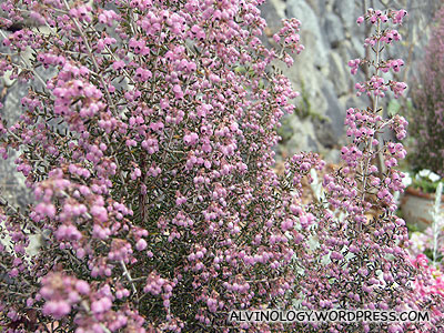 Stalks of tiny pink flowers