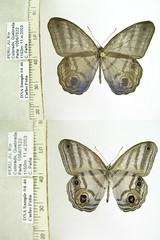 Chloreuptychia sp. n.
