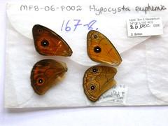 Hypocysta euphemia