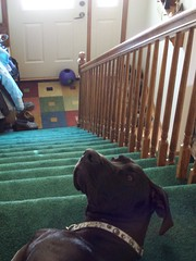 Oops (legallyglinda) Tags: sleeping dog stairs im great guard here lazy dane whoa