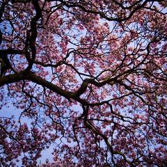 German sakura (Jos Mecklenfeld) Tags: germany deutschland spring magnolia 桜 sakura lente ricoh frühling 櫻 さくら voorjaar サクラ magnolien supershot badrothenfelde indiasong gx200