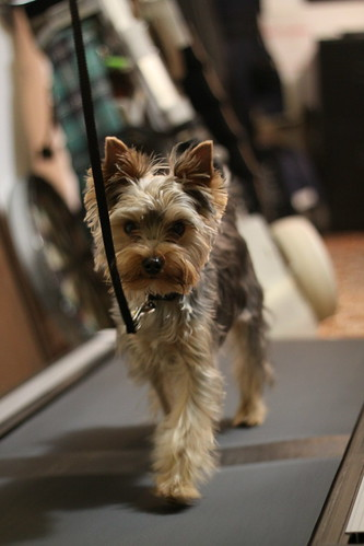 Darwin - Yorkie on a Treadmill