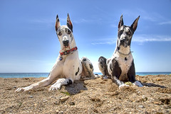 California Danes (Nick  Carlson) Tags: california dog pet beach maggie greatdane bodhi palosverdes largebreed nickcarlson truelifeimages