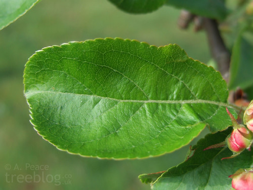 green apple tree leaves. feeding cherry shrimp a diverse diet the experiment. [archive] - aquariumlife green apple tree leaves n