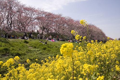 Cherry blossom -Satte no sakura 08-