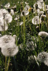 Blowballs (jansonn) Tags: flower green meadow dandelion blowball