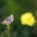 Moth and Dandelion