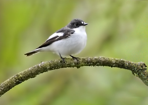 Pied Flycatcher. Male