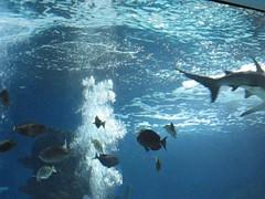 Diving With Sharks (video) (Piedmont Fossil) Tags: fish aquarium shark video kentucky newport newportaquarium