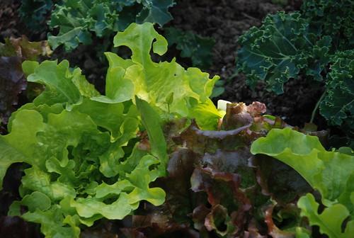 lettuces in kat and reid's garden
