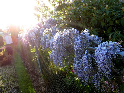wisteria is wonderful