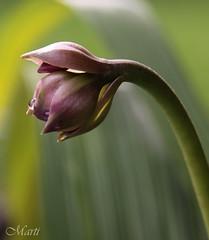 Ground Orchid Buds (FLPhotonut) Tags: orchid flower purple bud groundorchid spathoglottisplicata