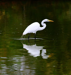 Great Egret wading with reflection (gbrummett) Tags: park camera light arizona usa sun bird water car rain birds by clouds corner canon lens eos rising dawn for was is photo saw back waiting with many mark name south great birding may taken saturday going falling using just ii thinking be end gilbert 5d even after about usm then coming turned heading having seen preserve egret far 2009 ef 23rd turning 100400mm wading riparian minute scientific darker sprinkling f4556l albaquot quotardea