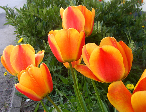 What do yellow tulips mean hunker example of a striated yellow tulip mightylinksfo