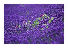 Lavender (Thomas (dk-photoblog.com)) Tags: vienna wien pink flower green nature canon eos austria sterreich perfect photographer purple natur lavender rosa blumen lila l colored 28 usm grn farbig ef karlsplatz 70200mm the lavendel 40d