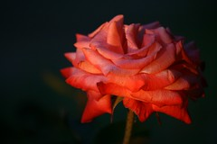 Sunset rose
