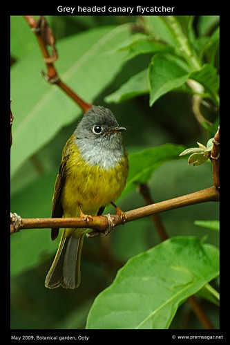 Grey Headed Canary Botanical garden 4