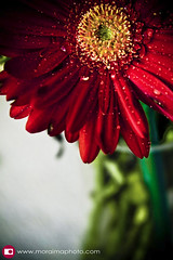 water drops on red (moraima_D) Tags: red stilllife flower green nature water catchycolors drops waterdrops