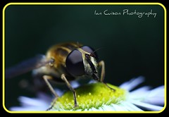 Macro Series #5 - Drone Hoverfly (Ian Cuison Photography) Tags: macro canon insect photography fly photo you photograph pinoy canon40d dronehoverfly iancuison macroseries5dronehoverfly