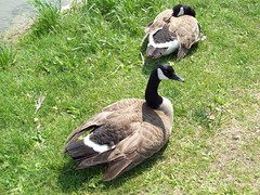 Hawrelak Park Spring-Summer 2009 (raise my voice) Tags: park canada geese edmonton ducks goose chicks mallards goldeneye hawrelak